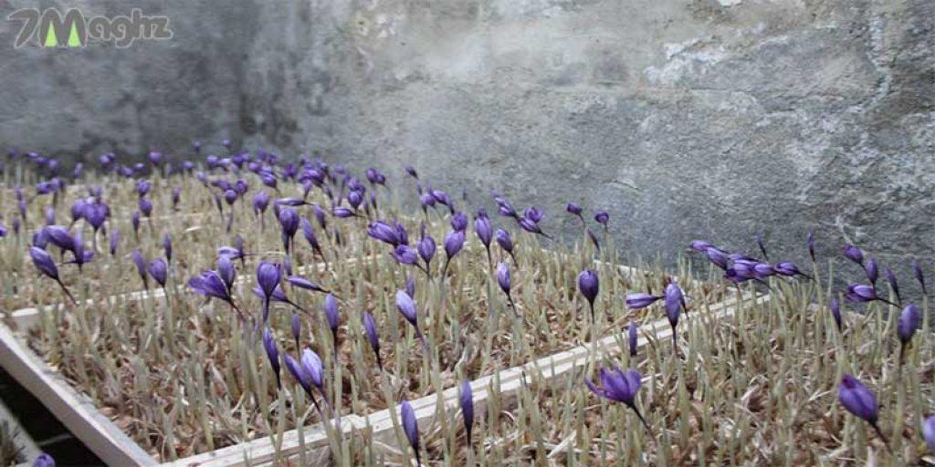 درآمد کاشت زعفران گلخانه ای