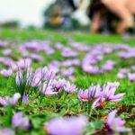 تفاوت های زعفران ارگانیک و زعفران اصل