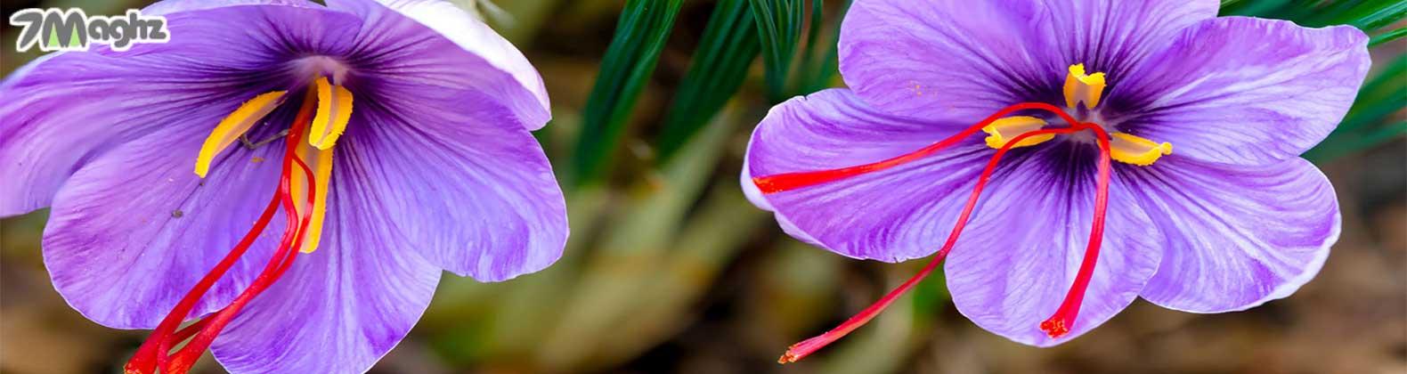 مصلح زعفران چیست