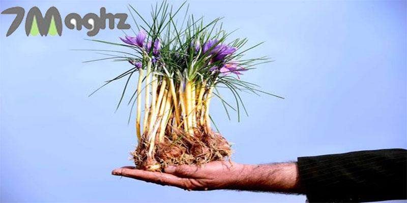 پیاز زعفران چیست و چگونه آن را بکاریم